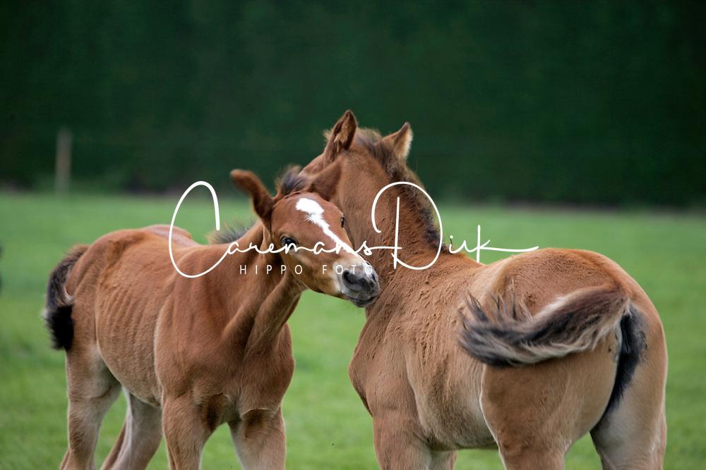 Foals and mare on the meadow<br /> Kieldrecht 2006<br /> Photo© Dirk Caremans