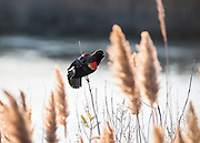 As this Red-winged Blackbird was busy singing in his territory, I liked the glow of the beautiful morning backlight.  Bombay Hook NWR, Delaware