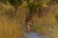 Lioness walking in the bush after sunset, Linyanti Marshes, Botswana.