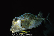 trunkfish ( buffalo trunkfish ), Lactophrys trigonus, <br /> with remora or sharksucker, Echeneis naucrates<br /> Belize, Central America ( Caribbean Sea )