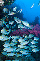 Surgeonfish congregate around a large Gorgonian <br /> <br /> Shot in Indonesia