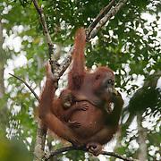 Orangutan mother and baby in Tanjung Puting National Park. Central Kalimantan region, Borneo.