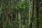 Huaorani Indian - Ontagamo Kaimo out hunting with his  blowgun. Gabaro Community. Yasuni National Park.<br /> Amazon rainforest, ECUADOR.  South America<br /> This Indian tribe were basically uncontacted until 1956 when missionaries from the Summer Institute of Linguistics made contact with them. However there are still some groups from the tribe that remain uncontacted.  They are known as the Tagaeri & Taromenani. Traditionally these Indians were very hostile and killed many people who tried to enter into their territory. Their territory is in the Yasuni National Park which is now also being exploited for oil.