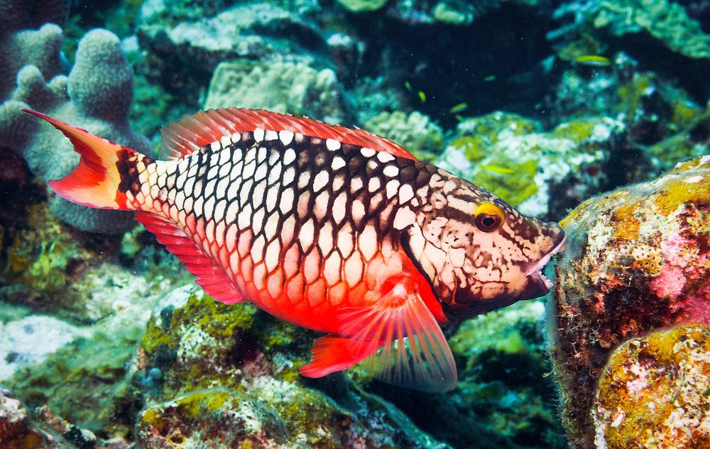 A stoplight parrotfish (Sparisoma viride) eats algae on a coral reef near Eleuthera, Bahamas.