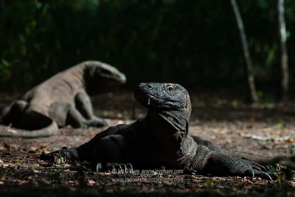 Komodo Dragons, Komodo National Park, Flores, Nusa Tenggara Timur, Indonesia.