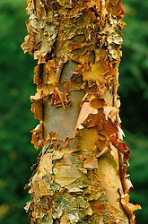 The peeling bark of Acer griseum