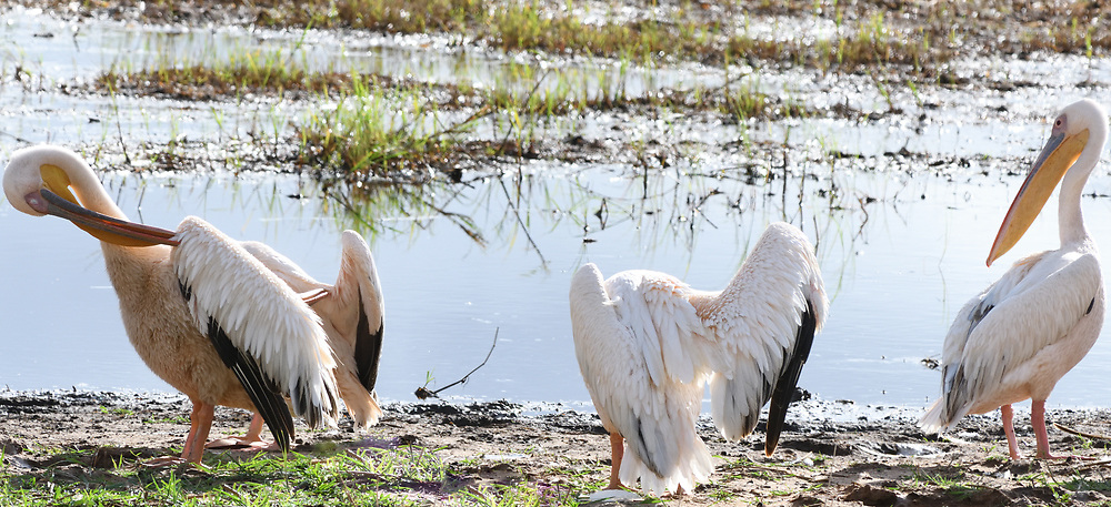 wildlife, Tarangire, national park, Tanzania, Tanzanian, ecosystem, East Africa,  Manyara, barndigital