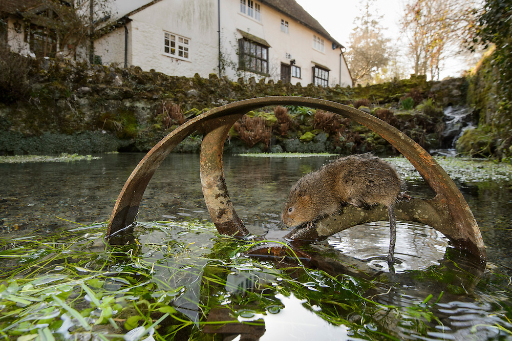 Water Vole (Arvicola amphibius) on old pump wheel with house in background, Kent, UK