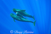 juvenile short-finned pilot whale, Globicephala macrorhynchus, sandwiched between two protective adults while swimming through open ocean, Kona, Hawaii ( the Big Island ), U.S.A. ( Central Pacific Ocean )