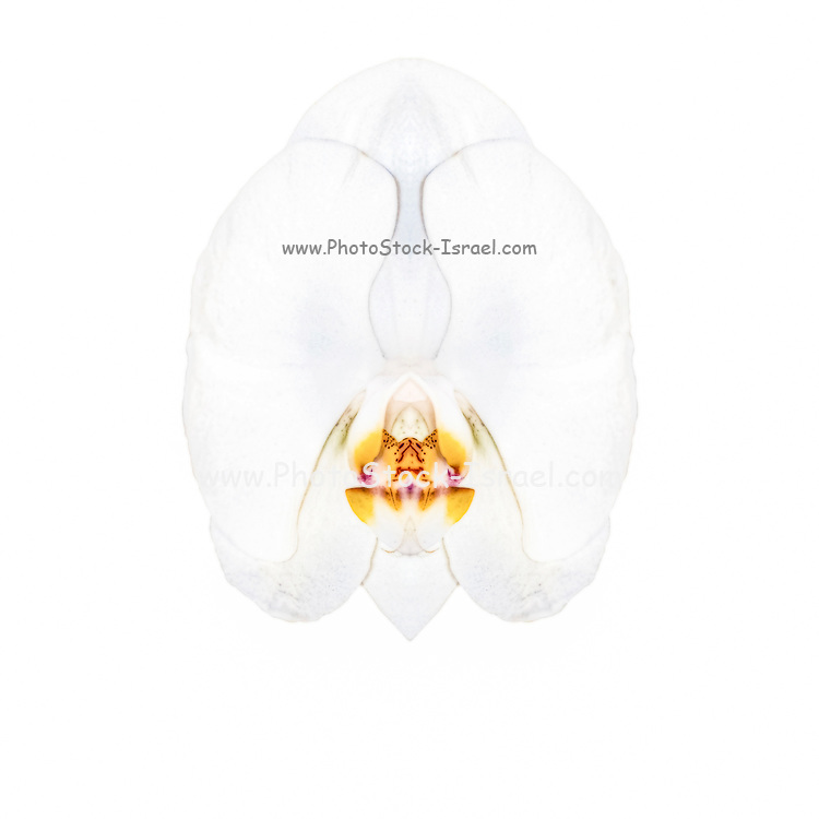 Digitally enhanced image of a sketch of a single white orchid on white background
