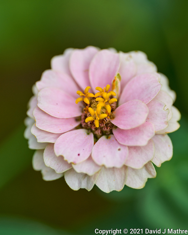 Zinnia. Image taken with a Leica SL2 camera and Sigma 105 mm f/2.8 macro lens.