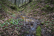 Small nameless stream with impressive ravine covered in fallen leaves and green moses and few green hazelworts (Asarum europaeum) growing near water, Murjāņi, Gauja National Park (Gaujas Nacionālais parks), Latvia Ⓒ Davis Ulands   davisulands.com