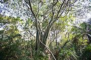 Aquidauana_MS, Brasil...Arvore da fazenda Rio Negro no Pantanal...The tree of Rio Negro farm in Pantanal...Foto: JOAO MARCOS ROSA / NITRO