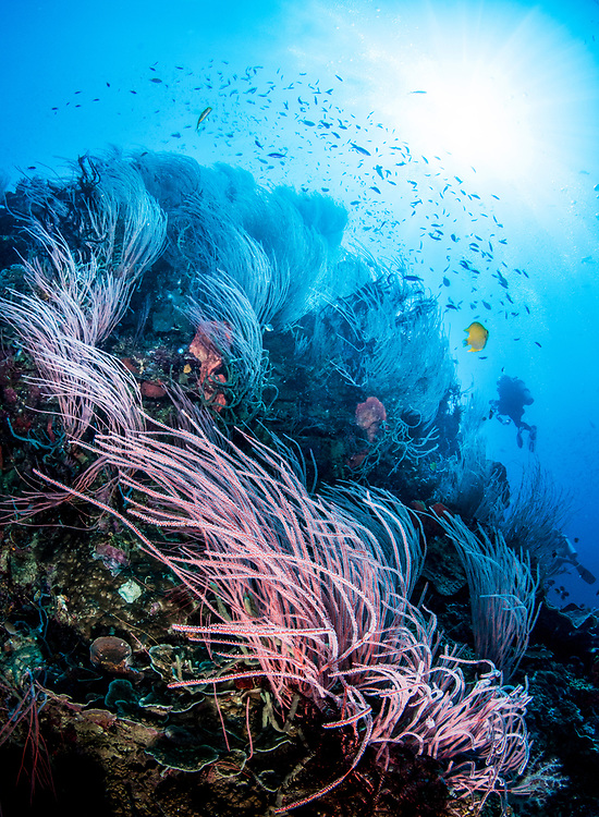 A coral reef scene with red sea whips (Ellisella sp) and a scuba diver in the background. Kimbe Bay, Papua New Guinea.