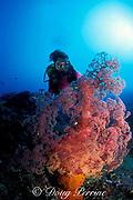 soft coral, Dendronephthya sp., and diver, Alamanda Bay, Bali, Indonesia MR 270