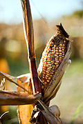 A mature ear of corn with dried out leaves and silk.