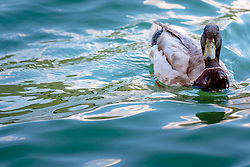 THEMENBILD - eine Ente schwimmt am See, aufgenommen am 22. Mai 2017, Kalterer See, Kaltern, Italien // A duck swims at the Lake Caldaro, Kaltern, Italy on 2017/05/22. EXPA Pictures © 2017, PhotoCredit: EXPA/ JFK