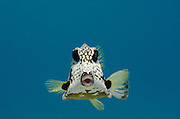 Smooth Trunkfish (Lactophrys triqueter)<br /> BONAIRE, Netherlands Antilles, Caribbean<br /> HABITAT & DISTRIBUTION: Over reefs or sand<br /> Florida, Bahamas, Caribbean, Gulf of Mexico, Bermuda north to Massachusetts and south to Brazil.