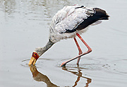 Yellow-billed Strok (Mycteria ibis) searching for food in a small pond in Ngorongoro Crater, Tanzania.