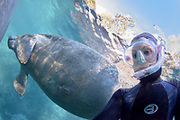 A rare photograph of myself, Carol Grant, underwater with socializing manatee taken in February 2017. I'm almost always on the other side of the viewfinder! I turned the dome port around for this shot of a male manatee social behavior. Being very curious creatures they investigate their environment and other manatees while swimming in the clear blue spring water lit by the sun's rainbows. This is a peek at an undisturbed, natural behavior while this manatee winters in the freshwater springs. Florida manatee, Trichechus manatus latirostris, a subspecies of the West Indian manatee, endangered. Three Sisters Springs, Crystal River National Wildlife Refuge, Kings Bay, Crystal River, Citrus County, Florida USA. IUCN Red List: Endangered. USFWS implemented downlisting to Threatened 2017: http://www.iucnredlist.org/details/22106/0.