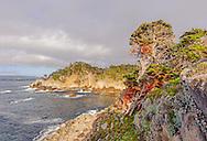 Cypress Tree (Cupressus macrcarpa) Point Lobos State Reserve, Carmel, California USA
