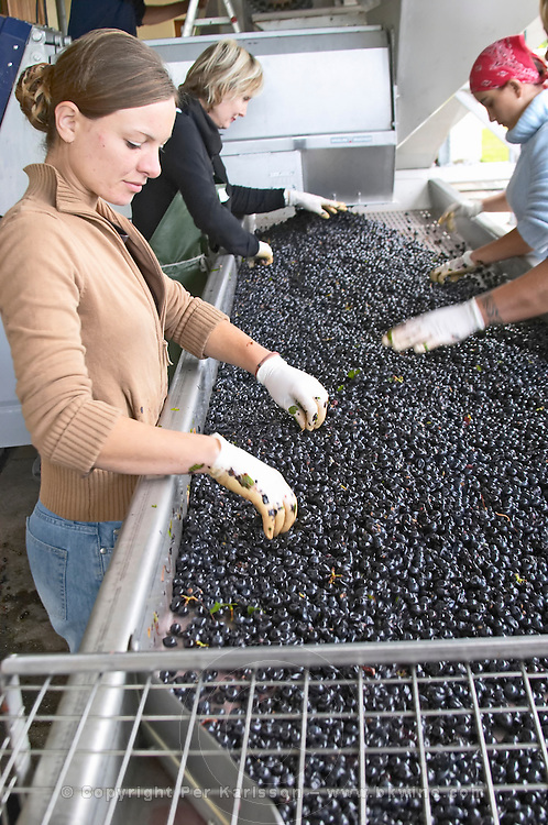 Hand selecting the bad grapes at a sorting table. Merlot. Chateau Paloumey, Haut Medoc, Bordeaux, France.