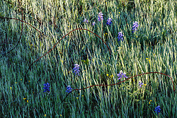 Bluebonnets and barbed wire, outside Ennis (south of Dallas), Texas, USA