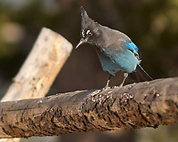 Steller's Jay (Cyanocitta stelleri). Rocky Mountain National Park. Image taken with a Nikon D2xs camera and 70-200 mm f/2.8 VR lens.