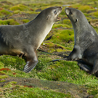 Young Southern Fur Seals play in a mossy meadow near Stromness Bay, South Georgia, Antarctica.