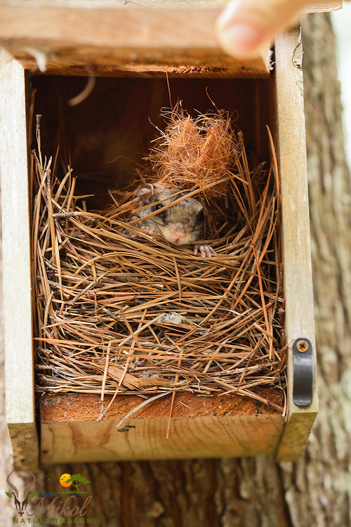 Southern Flying squirrel in birdhouse, Nest of Pine needles