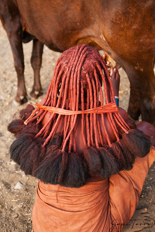 From behind, the traditional style hair of a Himba girl while milking a cow, Kaokoland,  Namibia,Africa