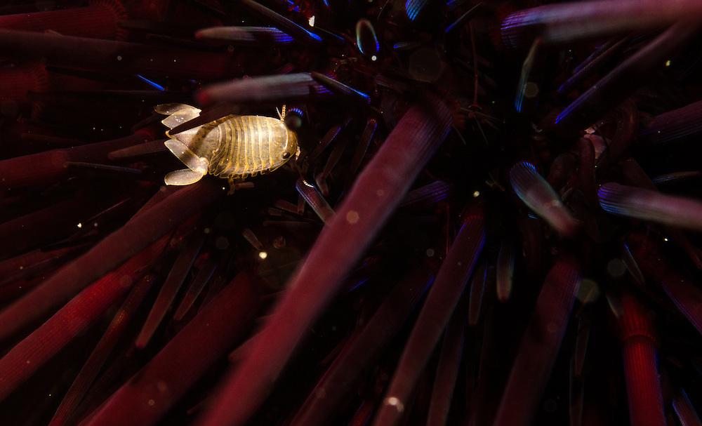 Isopod, Unknown, Poor Knights Islands