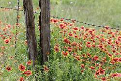 Firewheel  wildflowers and fence line on Blackland Prairie near Clymer Meadow Preserve, Texas Nature Conservancy, Greenville, Texas, USA.