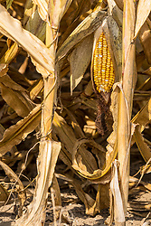 Corn ready to be picked (harvested) dries on the stalk awaiting the farmer to arrive with the farm equipment.