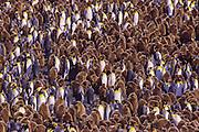 King penguin colony with chicks, South Georgia Island, Antarctica