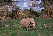 Elephants,  Mother and two Babies, Amboseli National Park, Kenya