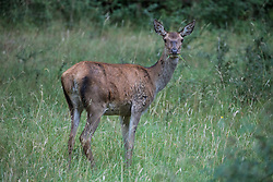 Windsor, UK. 21 July, 2020. A red hind in Windsor Great Park. There is a herd of around 500 red deer within the deer park enclosure in Windsor Great Park, all descended from forty hinds and two stags introduced from Balmoral Estate in 1979 by the Duke of Edinburgh.