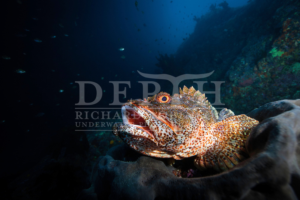 Scorpaena cardinalis (Northern Scorpionfish) Thursday 02 May 2013.Photograph Richard Robinson © 2013.Dive Number: 478.Site: Middle Arch, Poor Knights Islands Marine Reserve, New Zealand.Time: 09:32.Temperature: 19.Rebreather: Inspiration Vision. Total Time On Unit: 284:07 hh:mm.Maximum Depth: 39.6 meters.Bottom Time: 106 minutes.Mix: 25.CNS: 58%.OTU: 47%.Bottom Time to Date: 32,106 minutes.Cumulative Time: 32,212 minutes
