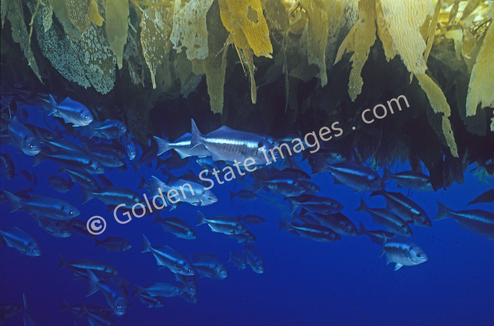 Off the California coast they are commonly found under drift kelp or other drifting objects and around offshore oil rigs.    <br /> <br /> Range: Vancouver Island to the Gulf of California    <br /> <br /> Species: Medialuna californiensis