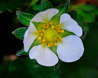 Strawberry flower. Image taken with a Fuji X-T3 camera and 80 mm f/2.8 macro lens (ISO 320, 80 mm, f/5.6, 1/220 sec).