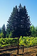 Vineyard in the Santa Cruz Mountains near Bonnie Dune, Santa Cruz County, California
