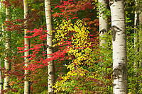 Aspen trunks and autumn foliage, Fayston, Vermont