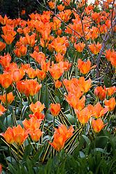 Tulipa 'Orange Emperor' with Yucca filamentosa 'Bright Edge'