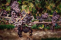 Wine grapes maturing in the late summer sun of Monroeville, NJ.