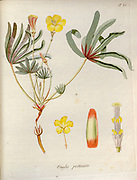 Wood sorrel (Oxalis pectinata syn Oxalis flava var. pectinata). Illustration from 'Oxalis Monographia iconibus illustrata' by Nikolaus Joseph Jacquin (1797-1798). published 1794