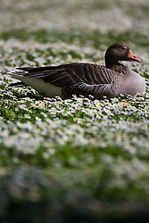 A goose rests among the daisies on the lawns on a perfect spring day in Regents Park. London, May 04 2018.
