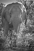 African elephant in Etosha National Park. <br /> <br /> African elephants are elephants of the genus Loxodonta. The genus consists of two extant species: the African bush elephant and the smaller African forest elephant. Loxodonta is one of two existing genera of the family, Elephantidae.<br /> <br /> One species of African elephant, the bush elephant, is the largest living terrestrial animal, while the forest elephant is the third largest. Their thickset bodies rest on stocky legs, and they have concave backs. Their large ears enable heat loss. The upper lip and nose form a trunk. The trunk acts as a fifth limb, a sound amplifier, and an important method of touch. African elephants' trunks end in two opposing lips, whereas the Asian elephant trunk ends in a single lip.