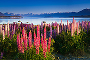 Morning light on lupine at Lake Tekapo, Canterbury, South Island, New Zealand