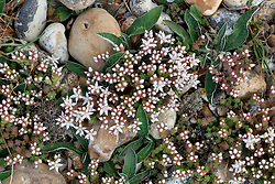 English Stonecrop. Sedum anglicum check id
