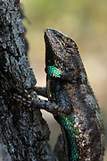 Eastern Fence Lizard (Sceloporus undulatus)<br /> The Orianne Indigo Snake Preserve<br /> Telfair County. Georgia<br /> USA<br /> HABITAT & RANGE: Many habitats from mountains to coastal regions usually in dry, open forests along edges.  South central and Eastern USA